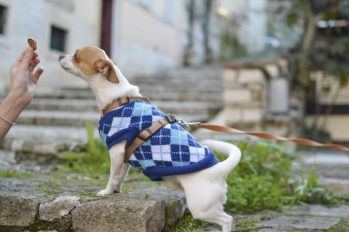 Small dog wearing blue argyle sweater given a treat.