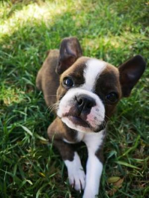 Boston Terrier pup laying in grass looking up at owner (not shown).