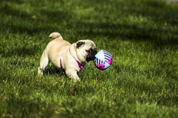Pug running in grass with ball.
