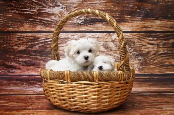 2 Fluffy white puppies in a basket.