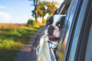 Boston Terrier puppy looking out the car window.