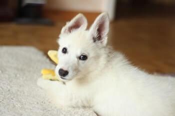 White Shepherd puppy laying on floor.