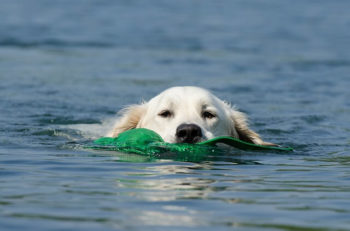 Golden Retriever swimming in a lake, retrieving a green toy.