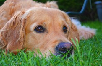 Cool Facts About Golden Retrievers