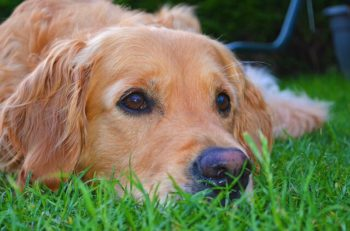 Cool Facts About Golden Retrievers [10 Things You May Not Know]