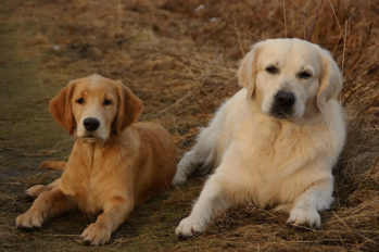 Two Golden Retrievers laying on ground. One English Golden Retriever and one American Golden Retriever.