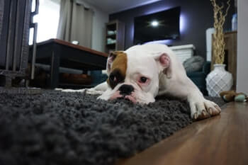 Bulldog laying on a black shag rug.