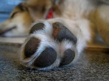 Dog lying on floor, close-up image of dog paw.