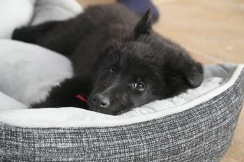 Best Orthopedic Dog Beds For Large Dogs image of large black dog laying in bed.