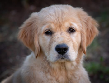 Golden Retriever puppy looking at you.