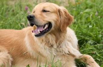 Grooming A Golden Retriever In The Summer