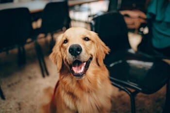 Golden Retriever sitting and smiling.