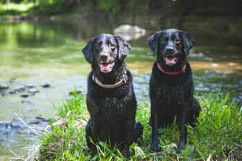 Two black Labrador retrievers sitting on the grass by a creek.