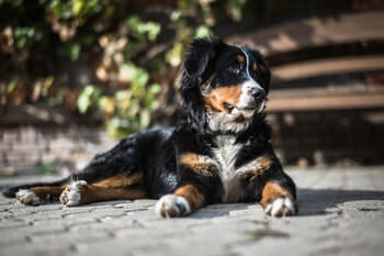 Bernese Mountain dog laying on the ground.