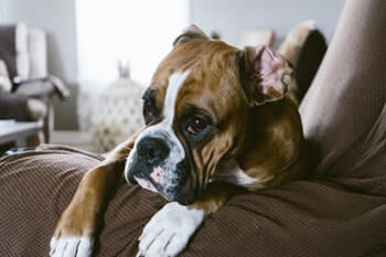 Boxer dog laying on a couch.