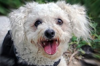 Bichon Frise dog looking happy.