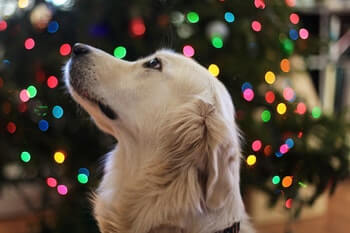 White Golden Retriever looking up, with coloured lights in the background.