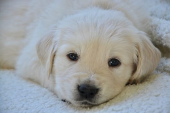 White Golden retriever puppy laying on a fleece blanket looking at you.