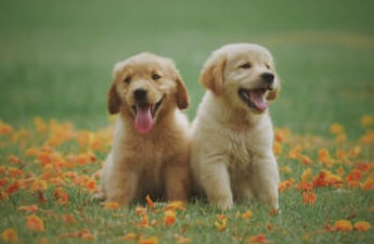2 Golden Retriever puppies, one dark and one light coloured sitting in a field of grass.