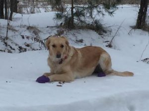 Golden Retriever wearing purple PAWZ boots laying in the snow.