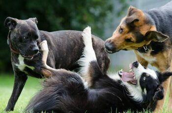 Border Collie, Pit Bull and Shepherd dog playing with each other.