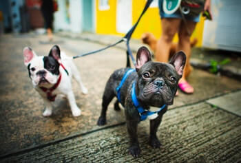 Two Boston Terrier's being walked by owner.