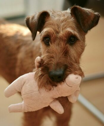 Brown schnauzer dog carrying a pink stuffed pig toy in his mouth.