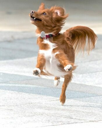 Brown and white dog shown leaping in the air out of excitement.