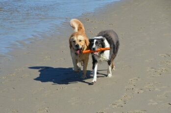Golden Retriever and Australian Shepherd carrying a stick together on the beach.