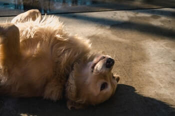 Golden Retriever laying on his back.