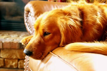 Golden Retriever laying on a brown leather sofa.