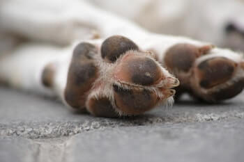 Dog paws shown that are red and irritated.