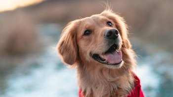 Gifts For Golden Retriever Owners - Happy Golden Retriever.