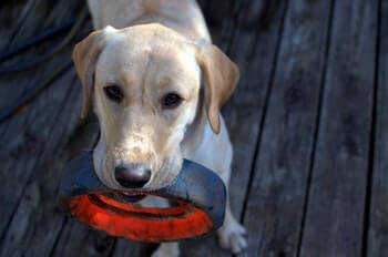 Yellow Labrador Retriever with a black and red rubber tire toy in mouth.