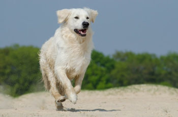 White Golden Retriever running on the sand.