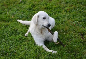 White Golden Retriever laying in the grass chewing on a stick.