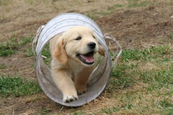Golden Retriever puppy walking thru a tunnel obstacle course.