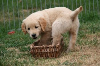 Golden Retriever puppy standing in a wicker basket.