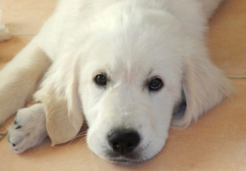 White Golden retriever puppy laying on the floor looking at you.