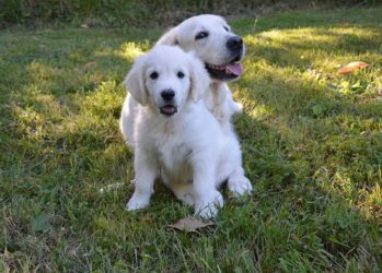 Living With A Golden Retriever [10 Things To Consider]