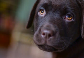 Black Lab puppy looking at you.