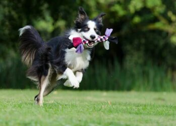Border Collie running with rope toy in mouth.