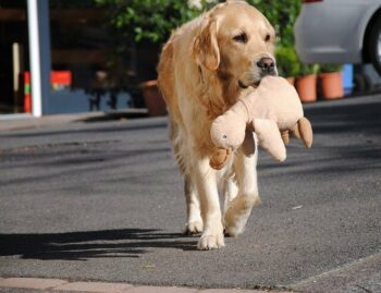 Golden Retriever walking on a paved road carrying a stuffed duck toy.