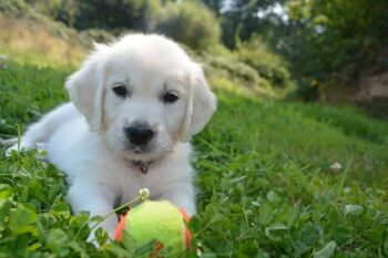 White Golden Retriever puppy laying on grass with a tennis ball in front of him.