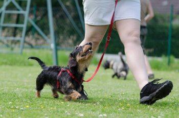 Rough coated Dachshund walking on leash beside owner.