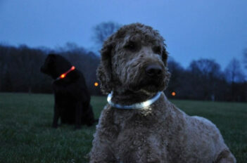 Grey doodle dog wearing a LED collar, and black dog in background wearing a red LED collar.