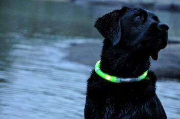 Black Lab wearing a light up dog collar.