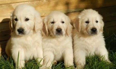 3 Golden retriever puppies sitting on grass by fence.