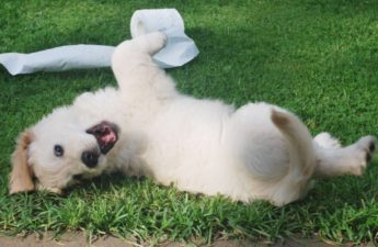 Golden Retriever puppy rolling in grass with a roll of toilet paper.