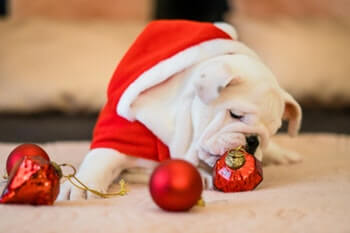 Bulldog laying on floor wearing a red Santa outfit playing with red Christmas ornaments.